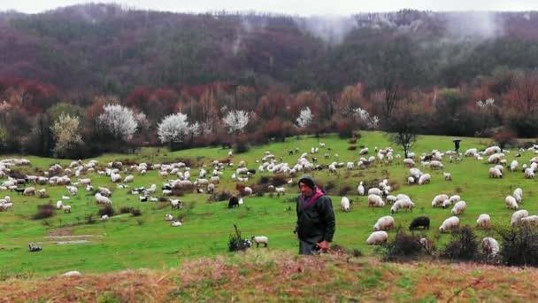 Ein Schäfer weidet mit einer Schafherde in der Frühlingszeit an einem regnerischen Tag auf dem Hügel