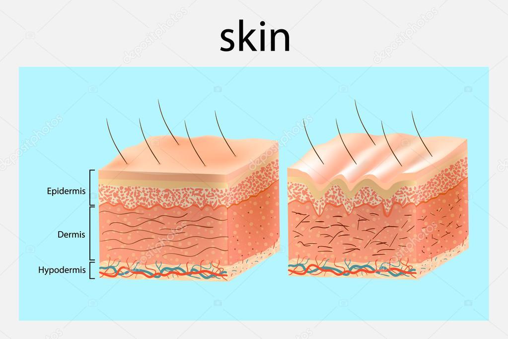 La estructura de la piel. Piel más joven y el envejecimiento de la ...