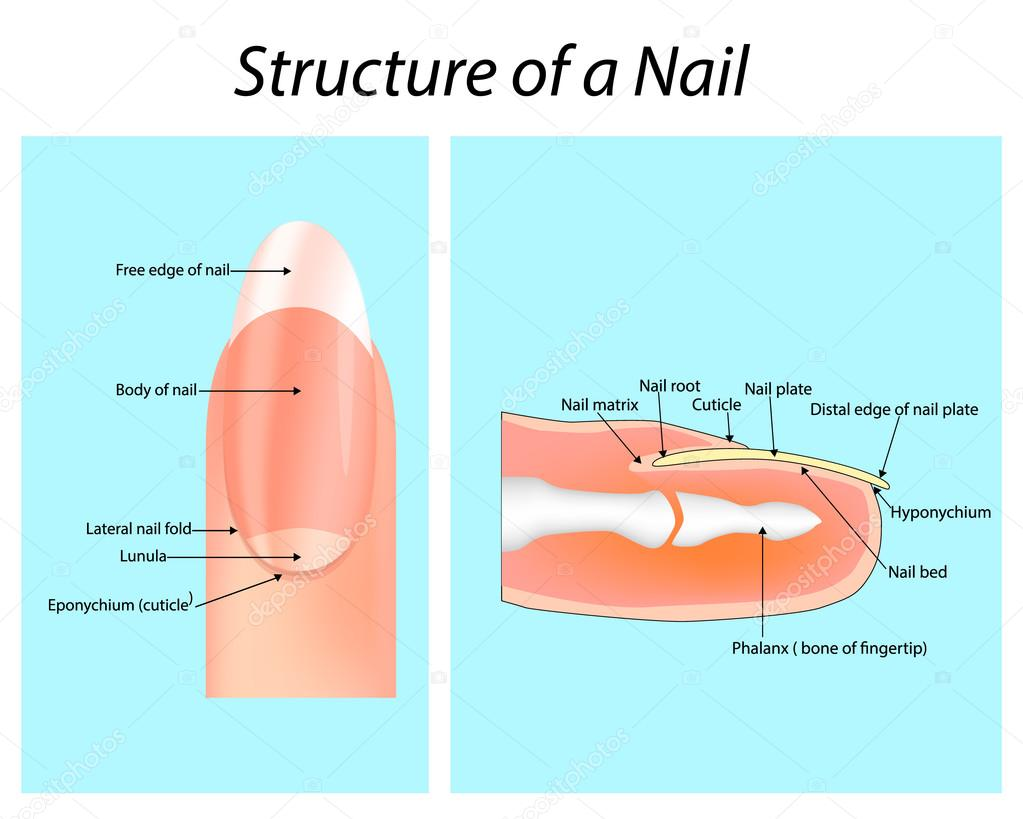 Structure Of A Nail Nail Anatomy Stock Vector Sakurra 96086740