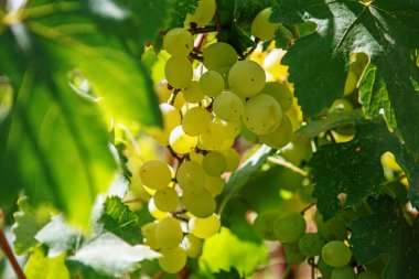 Large bunch of white wine grapes hang from a vine. Winemaking