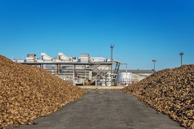 Sugar beet pile of the field after the harvest before processing