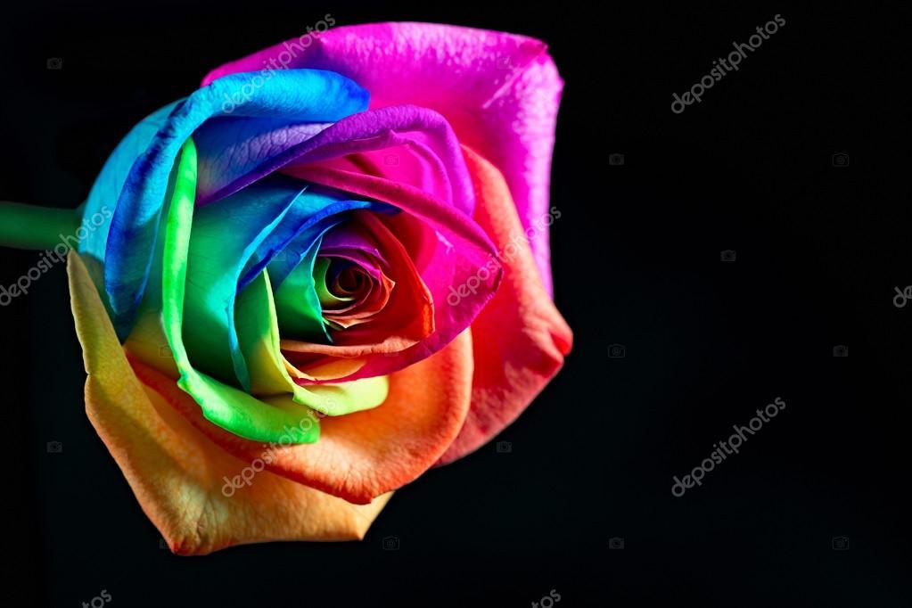 Rose Multicolore Photographie Cuorerouc C 67746117