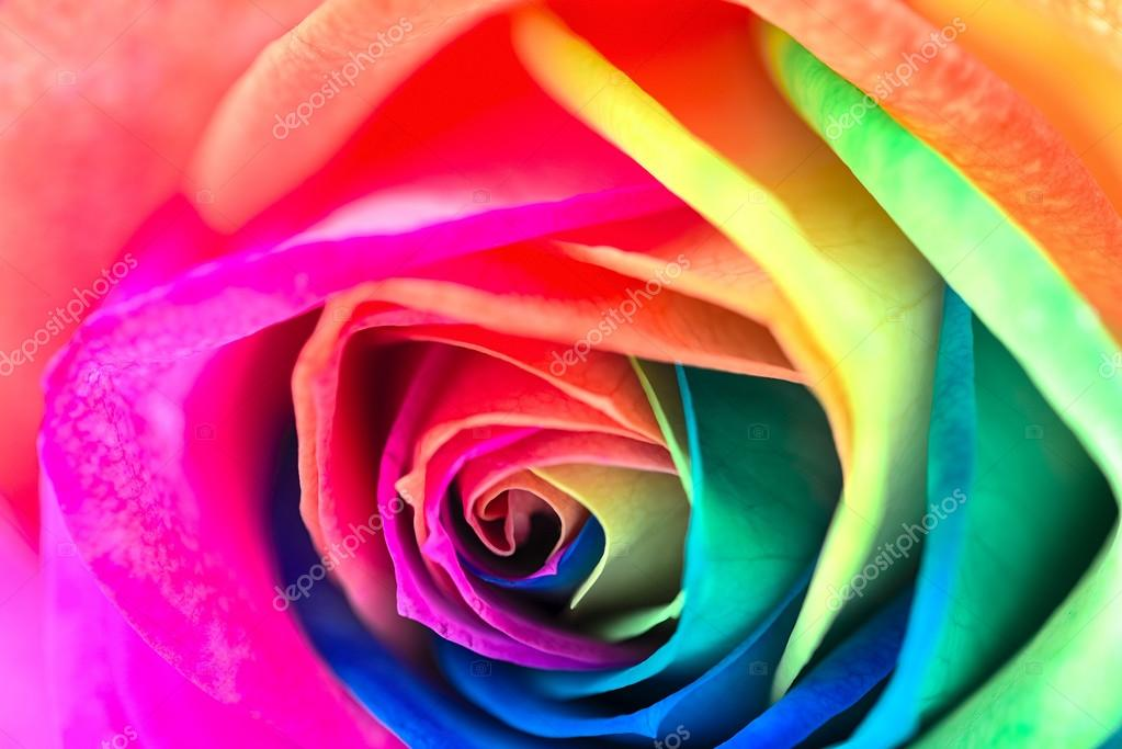 Rose Multicolore Photographie Cuorerouc C 68485123