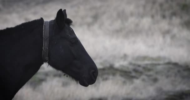 SLOW MOTION: Close up of a black horse standing still, restling and pastling some grass