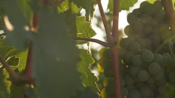A szőlő zöld levelei. Egy rakás szőlő. Mozgó kamera
