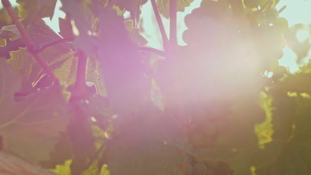 Áthatoló napsugarak keresztül szőlő levelek. Mozgó kamera a szőlő mentén