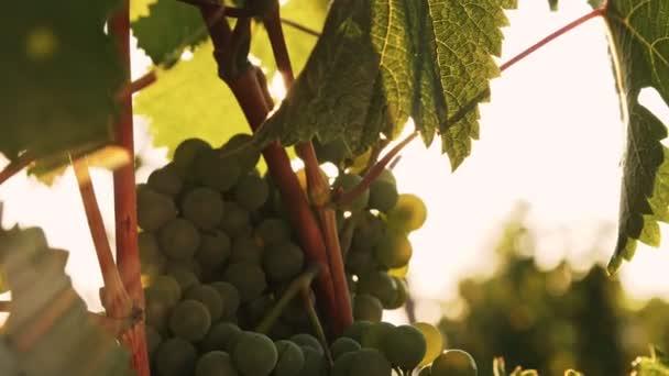 Sötétzöld szőlő hátterében az erős napfény. Fényképezőgép függőleges mozgása