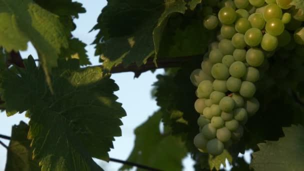 Sötétzöld szőlőfürt egy tiszta, napos napon. Vízszintes kameramozgás