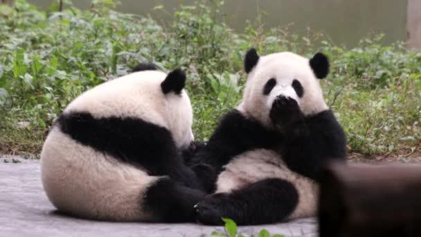 Little pandas playing on the playground, Chongqing, China