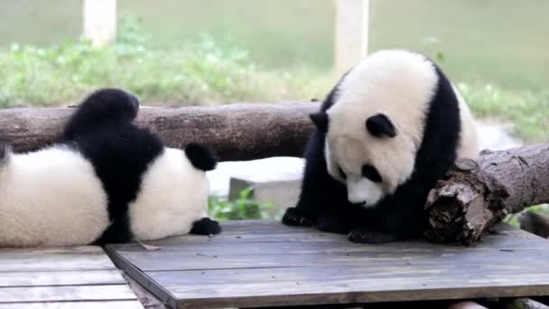 Cute LIttle Panda are playing in the Playground, Chongqing, China
