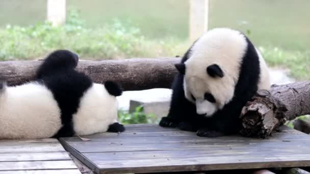 Little Fluffy Pandas are playingm on the Wood Structure in the Play yard, Chongqing, China
