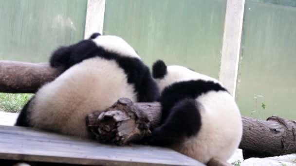 Little Panda in  Chongqing, China