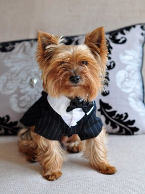 Small cute Yorkshire Terrier dog in elegant clothes