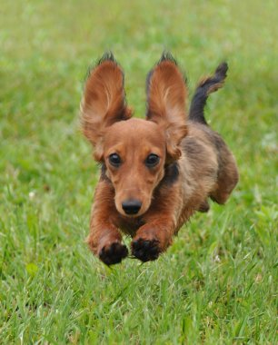 Dachshund dog running