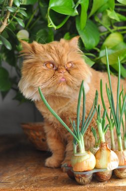 Funny red cat and onion