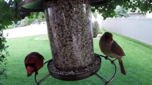 Uccelli del Nord rosso cardinale mangia il seme dallalimentatore