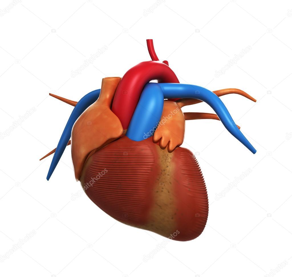 Menschliches Herz Anatomie der menschlichen Herzen isoliert auf weiß ...