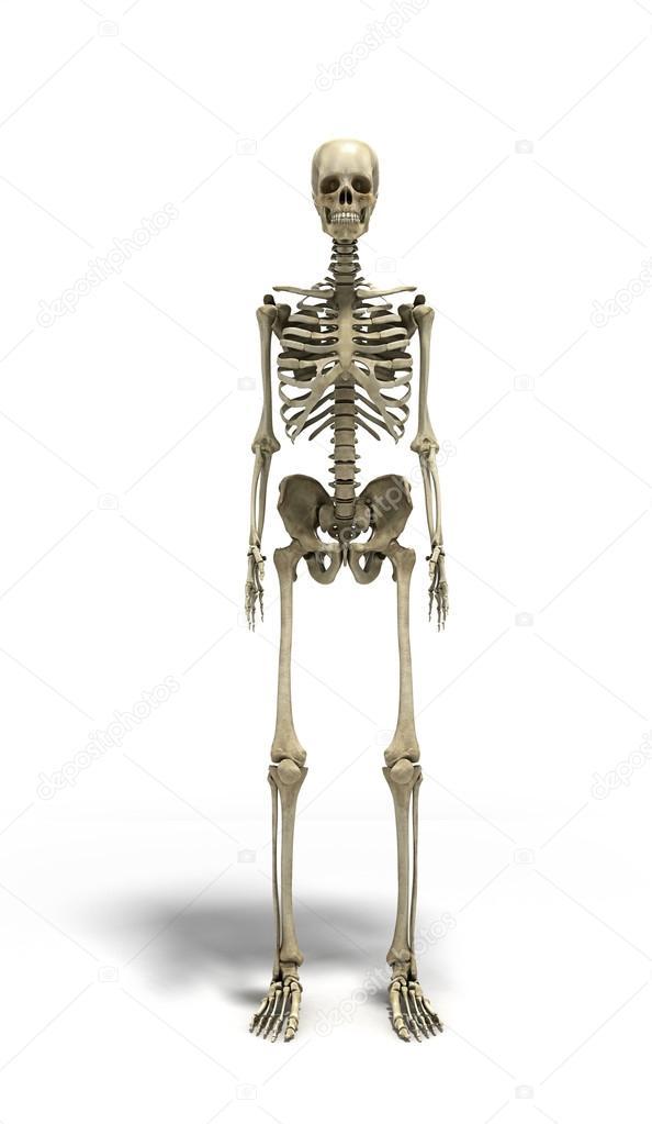 medizinische präzise 3d Abbildung des menschlichen Skeletts ...
