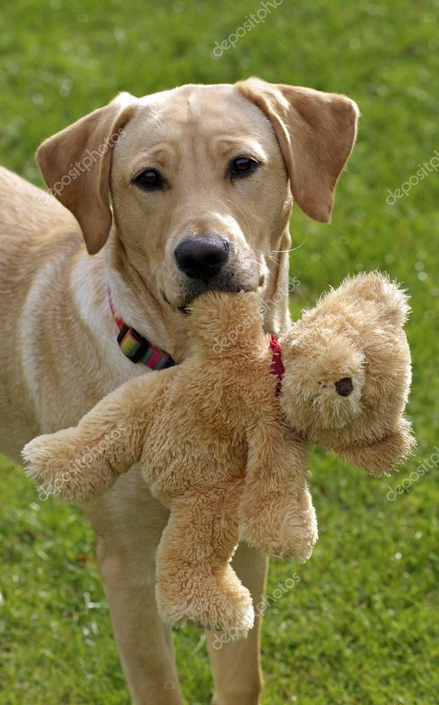 Urlaub Mit Hund Hund Teddy Bär Spielzeug Halten Labrador Retriever