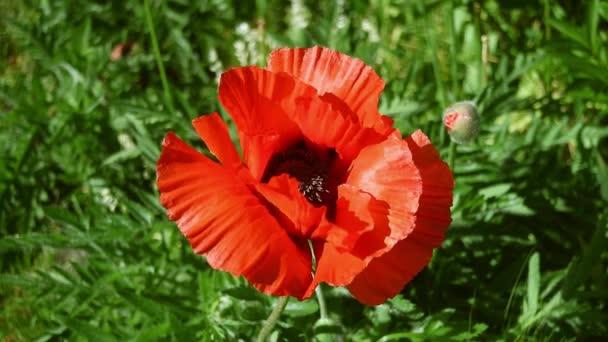 Mák v plném květu a pohybující se ve vánku. V anglické venkovské zahradě