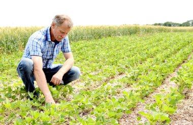 Farmer checking soybean field
