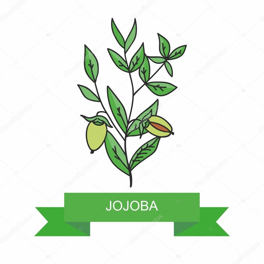 Jojoba branch with fruits. Vector illustration