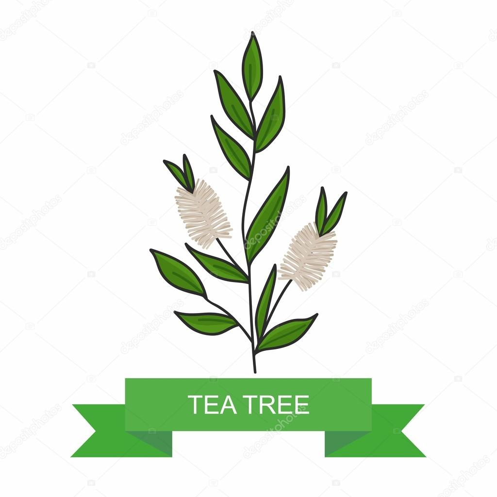 Tea tree branch with flowers. vector illustration