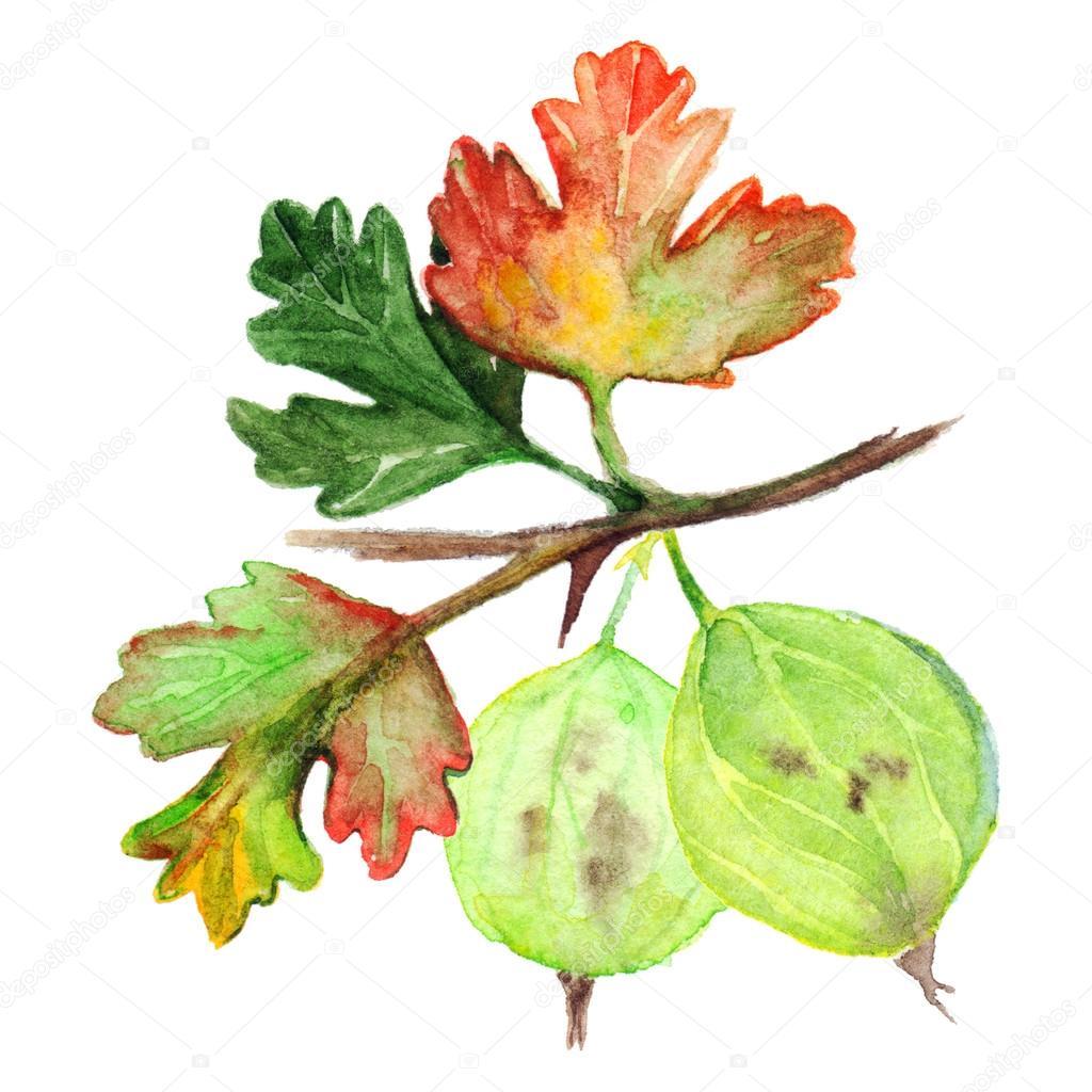 Sulu Boya Yeşil Sarı Turuncu Bektaşi üzümü Berry Yaprak şube Izole