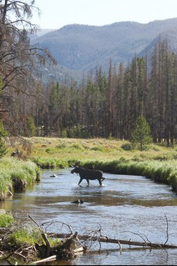 Moose Crossing Stream in Mountain Valley