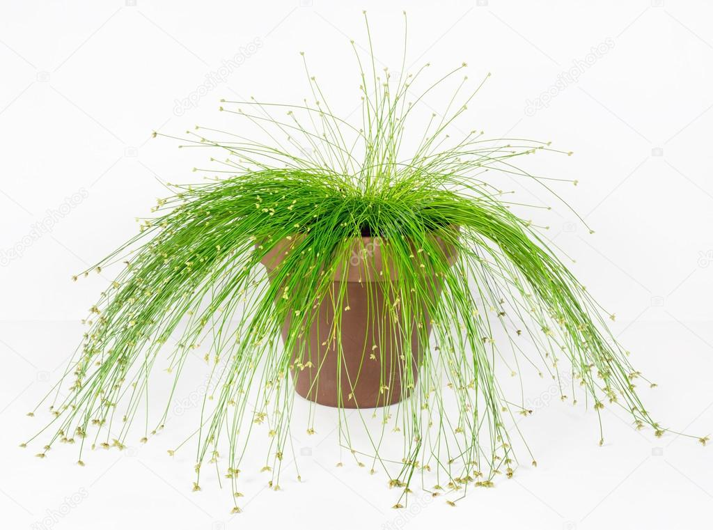 Fiber Optic Grass, Live Wire