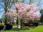 Fényképek Rózsaszín somfa fa