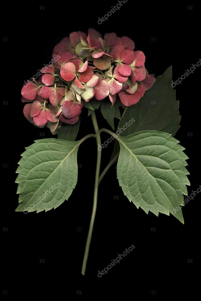 Hydrangea Bloom on Black