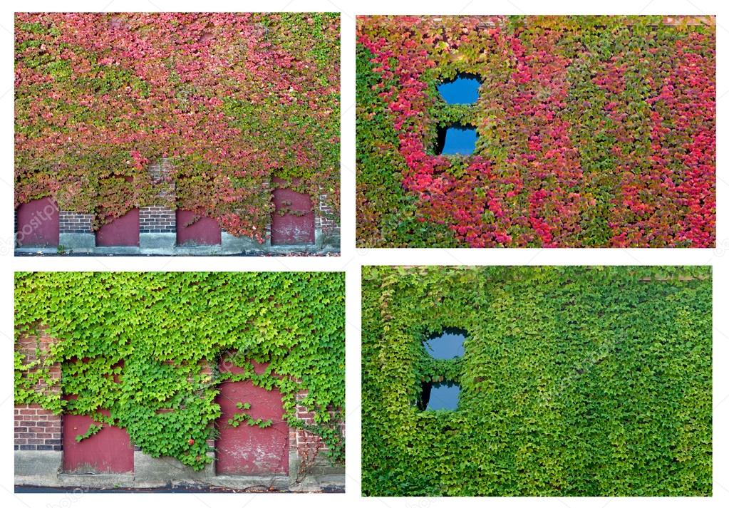 Ivy Collage