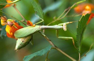 Praying Mantis on Plants