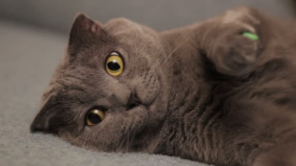 British  shorthair gray cat lying on the  sofa