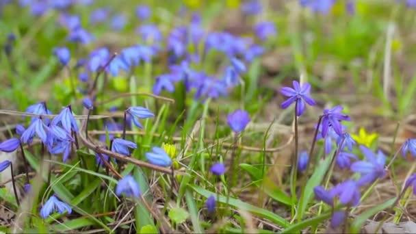 kék hóvirág a tavaszi erdőben