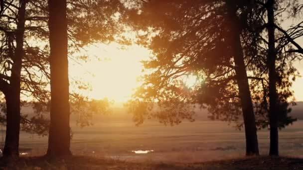 foresta di conifere al tramonto