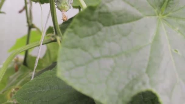 Az üvegházhatást okozó növekvő uborka