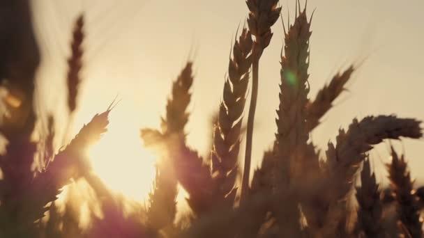 Búza mező. Füle arany búza közelről. Gyönyörű természet naplemente táj. Vidéki táj alatt ragyogó napfény