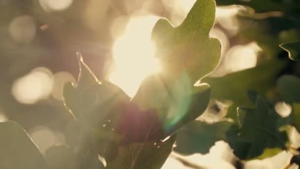 green oak leaves at sunset