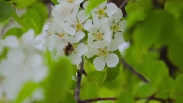 flowering fruit tree in the garden