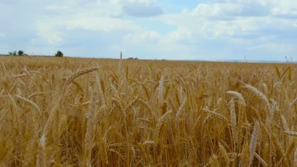 Wheat field. Ears of golden wheat close up. Beautiful Nature Sunset Landscape. Rural Scenery under Shining Sunlight