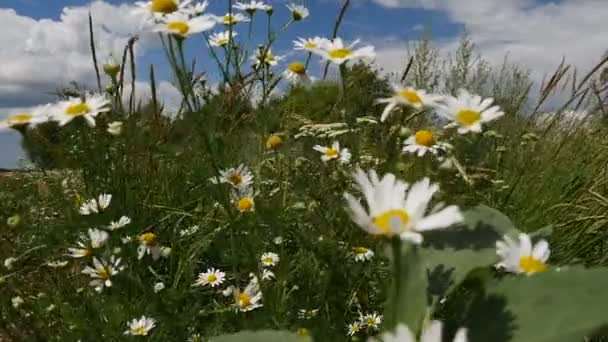 White Chamomile Daisies blown away by the wind