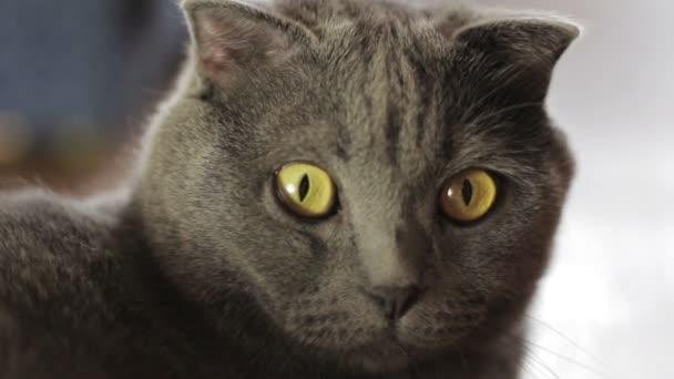 Kék brit macska van otthon