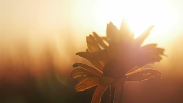 gelbe Blume auf einem Feld bei Sonnenuntergang