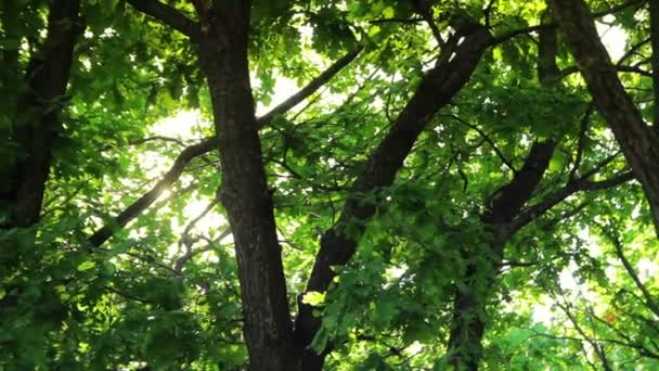 Summer sunny day in the forest, green trees, light warm wind, 1080p video on the move