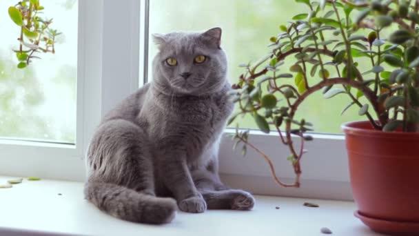 Šedé britské kočičí plemeno je sedí na okenním parapetu a při pohledu z okna