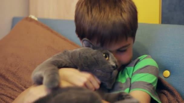 Fiú, simogatta, és simogatta a brit nagy szürke macska tenyészt