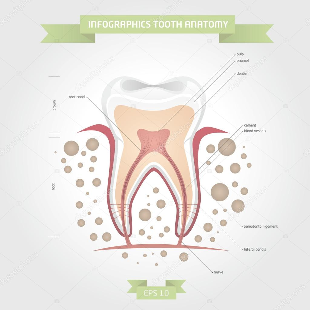 Infographics tooth anatomy