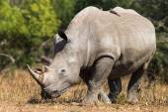 Photo White Rhinoceros